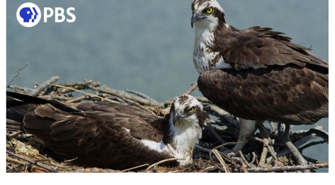 Views: Ospreys Guard Nest In Connecticut (PBS Video)