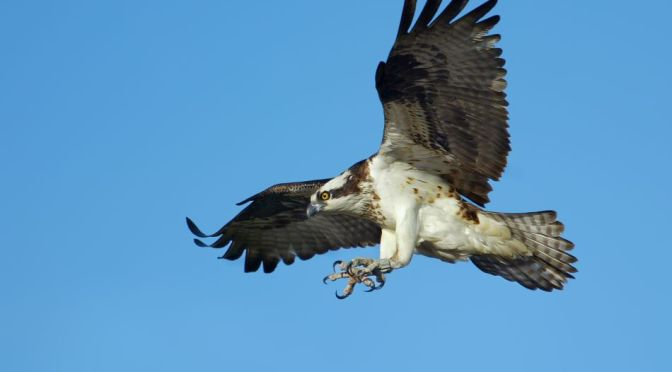 Views: An Osprey Hunts Trout In Yellowstone
