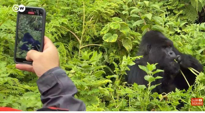 Views: Watching Gorillas In A Rwanda Rainforest